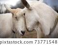 2 ground white goat, head 73771548