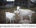 White goat, 2 ground 73772043