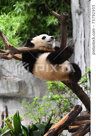 小熊貓倒掛 73792935