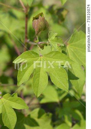 Levant cotton 73810874