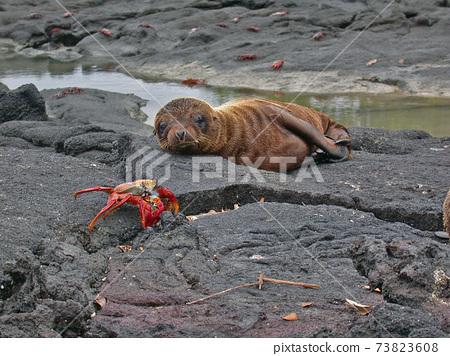 一隻幼稚的海獅在加拉巴哥群島的海岸上 73823608