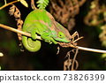 Colorful chameleon in a close-up in the rainforest in Madagascar 73826399