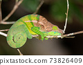 Colorful chameleon in a close-up in the rainforest in Madagascar 73826409