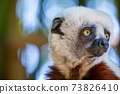 The Coquerel Sifaka in its natural environment in a national park on the island of Madagascar 73826410