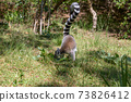 A funny ring-tailed lemur in its natural environment 73826412