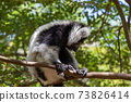 A black and white Vari Lemur looks quite curious 73826414