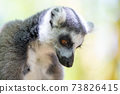 A funny ring-tailed lemur in its natural environment 73826415