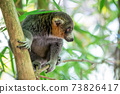 A lemur sits on a branch and watches the visitors to the national park 73826417