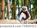 The Coquerel Sifaka in its natural environment in a national park on the island of Madagascar 73826422