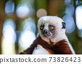 The Coquerel Sifaka in its natural environment in a national park on the island of Madagascar 73826423