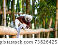 The Coquerel Sifaka in its natural environment in a national park on the island of Madagascar 73826425