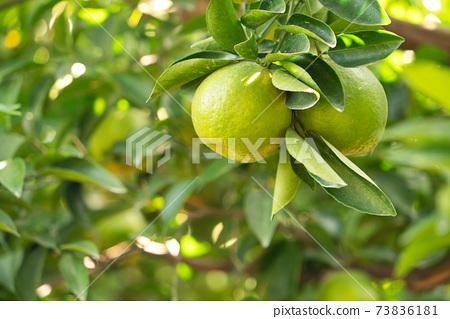 橘子 果園 橘子樹 自然 Tangerine tree orange garden 蜜柑 みかん 73836181