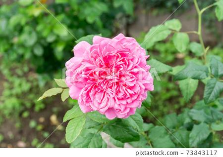 盛開的玫瑰花 73843117