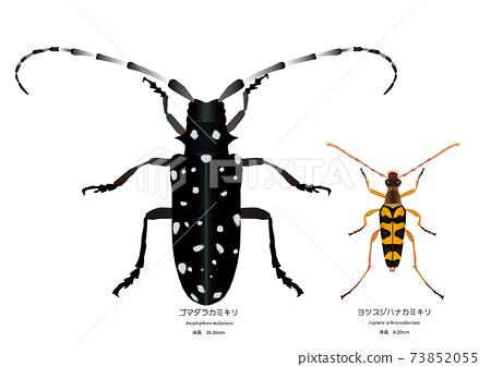 Leptura ochracea和長角甲蟲 73852055