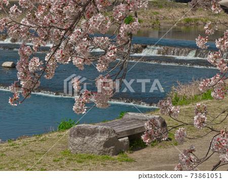 봄의 산책에 추천, 賀茂川 벚꽃 아래 산책 73861051