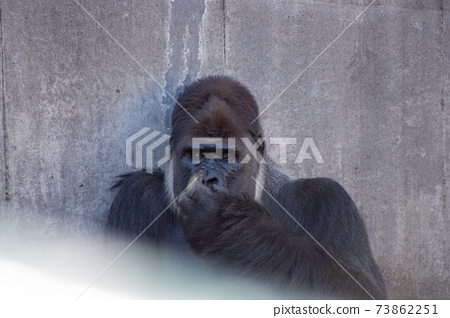西部大猩猩大猩猩面部表情鼻子花粉花粉症發癢鼻子 73862251