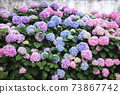 Hydrangea is pink, blue, lilac, violet, purple flowers. Bushes are blooming in spring and summer in town garden 73867742