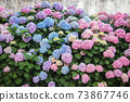 Hydrangea is pink, blue, lilac, violet, purple flowers and bushe 73867746