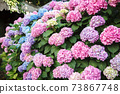 Hydrangea is pink, blue, lilac, violet bush. Flowers are blooming in town streets. Beautiful countryside garden 73867748