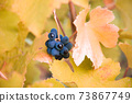 Ripe blue grapes with autumn leaves. Harvest on vineyard 73867749