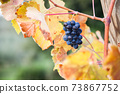 Ripe blue grapes with autumn leaves. Harvest on vineyard 73867752