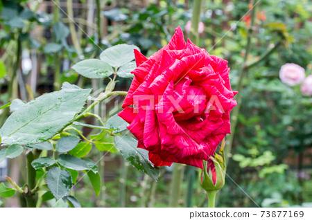 盛開的玫瑰花 73877169