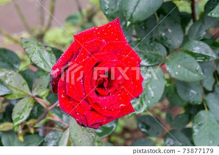 盛開的玫瑰花 73877179