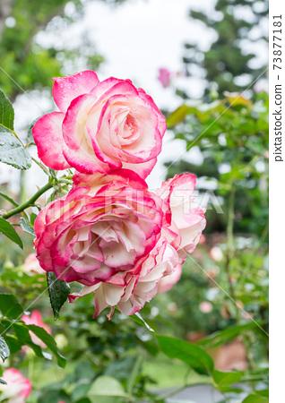 盛開的玫瑰花 73877181