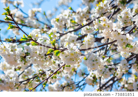 white apple blossom in morning sunlight. beautiful nature background in springtime. tender flowers on the branches in front of the blurry background of twigs and blue sky 73881851