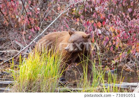 Close up shot of a Bear hunting fish in Lake Tahoe 73891051