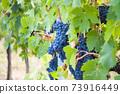 Ripe blue grapes. Autumn harvest on vineyard 73916449