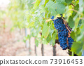 Ripe blue grapes. Autumn harvest on vineyards. Free space for text 73916453