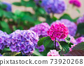 Blooming purple and pink hydrangea or hortensia 73920268