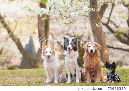 野櫻桃花和四隻狗 73926320