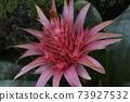 파인애플 花包 온실 속 관목, 분홍색 꽃 큰 꽃 73927532