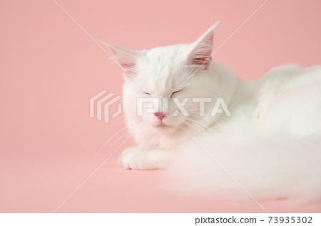 閉著眼睛的白貓(緬因州) 73935302