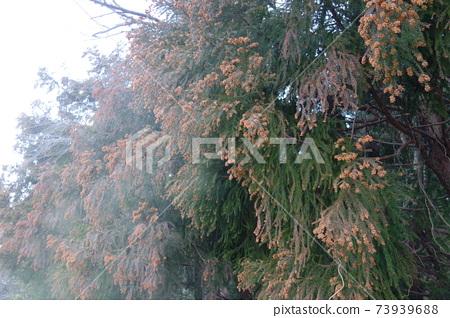 삼나무 꽃가루의 비산 73939688