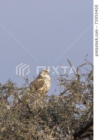 Saker falcon or Falco cherrug portrait during winter migration at jorbeer conservation reserve bikaner rajasthan india 73950408