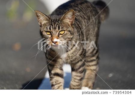還未滿一歲的基吉托拉(Kijitora)的年輕雄性流浪貓在溫暖開朗的氣氛中四處走動。 73954304