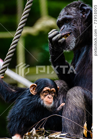 黑猩猩父母和孩子,東京多摩動物園 73958005