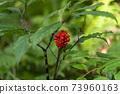 아오모리 현 시라 카미 산지 十二湖의 너도밤 나무 숲의 열매 73960163