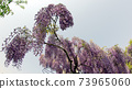 紫藤花5 73965060