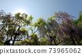 紫藤花4 73965062