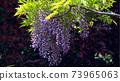 紫藤花3 73965063
