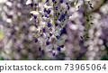 紫藤花2 73965064