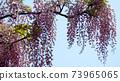 紫藤花1 73965065