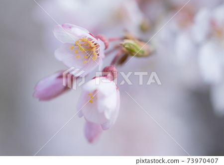 整個淺粉色的吉野櫻花樹的特寫 73970407