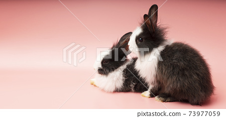 little black and white rabbit sitting together over isolated pink background. Easter animal concept. 73977059