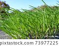 Nursery seedling 73977225