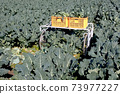 Broccoli harvest landscape 73977227